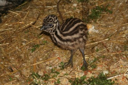 В зоопарке Одессы пополнение козочками и птенцами эму