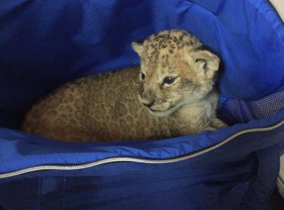 Одесские таможенники обнаружили котенка гепарда