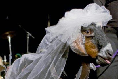 Козья свадьба