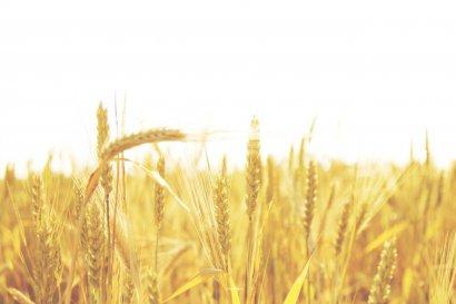 Украина с начала 2016-2017  года  экспортировала 34,129 млн тонн зерна