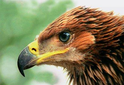 В Одесском зоопарке ожидают появление на свет потомства орла, занесенного в Красную книгу