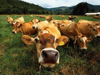Украинскую корову впору заносить в Красную книгу