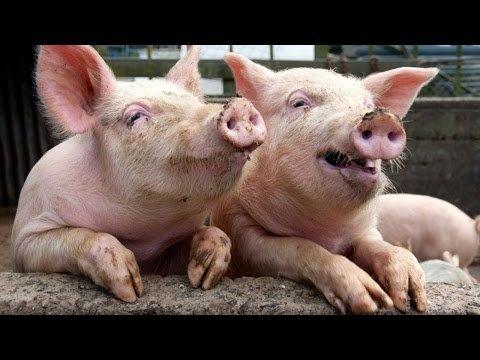 Беларусь временно ограничила ввоз свинины из Полтавской и Одесской областей