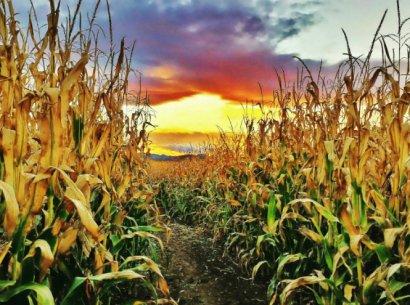 Мужчине жаткой отрезало ноги при уборке кукурузы на севере Одесщины