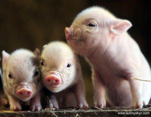 ВОдесской области зарегистрировано сразу несколько случаев африканской чумы свиней