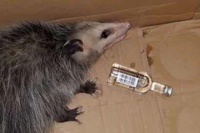 Дикий опоссум забрался в магазин во Флориде и выпил бутылку бурбона