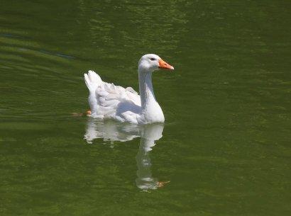 А белый лебедь на пруду…