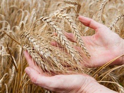 США прогнозируют снижение урожайности зерновых в Украине