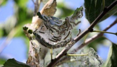 Американские гусеницы атаковали одесские деревья