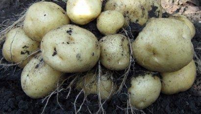 Аграрии Одесской области констатируют существенное уменьшение сбора картофеля и овощей