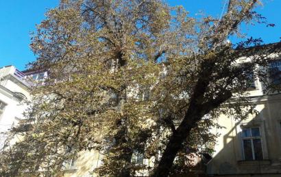 На Коблевской сотрудники муниципальной службы пытались спилить дерево-долгожитель