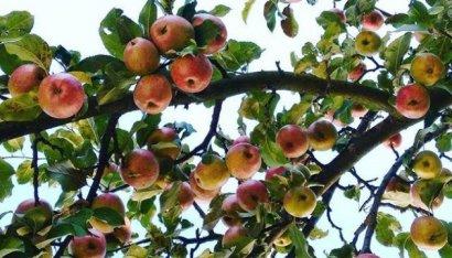 Почему Украина не станет фермерской страной: мелкие садоводы вынуждены оставлять урожай яблок в садах по причине убыточности