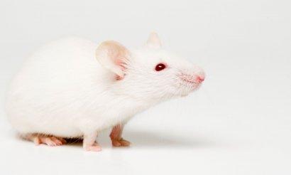 Ученые смогли «пересадить» мыши аутизм человека