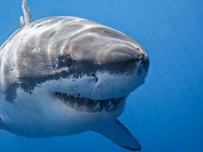 Акулы-людоеды сцепились в смертельной схватке (видео)
