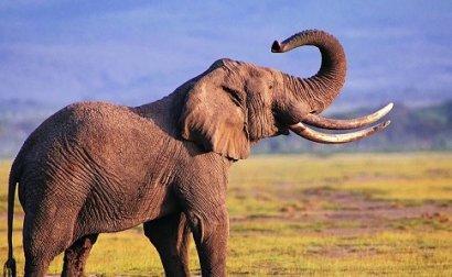 На конференция в Женеве запретили продажу африканских слонов в зоопарки и цирки