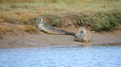 """В некогда """"мертвой"""" Темзе обнаружили сотни детёнышей тюленей"""