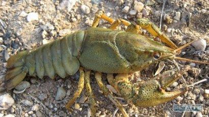 С 11 сентября запрещен промышленный и любительский лов раков в Дунае и Придунайских озерах