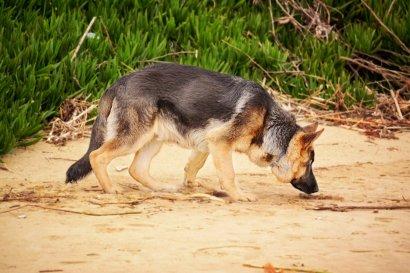 Британские исследователи научат собак унюхивать коронавирус