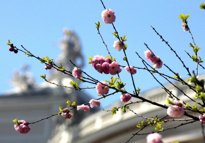 В Одессе цветут сакуры и магнолии. Природа оживает